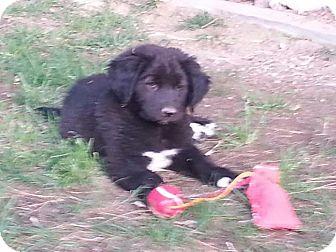 Border Collie/Golden Retriever Mix Puppy for adoption in Las Vegas, Nevada - Daisy's Sophie