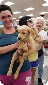 Retriever (Unknown Type) Mix Puppy for adoption in Tucson, Arizona - Charlene