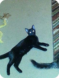 Domestic Shorthair Cat for adoption in Arlington/Ft Worth, Texas - Velvet