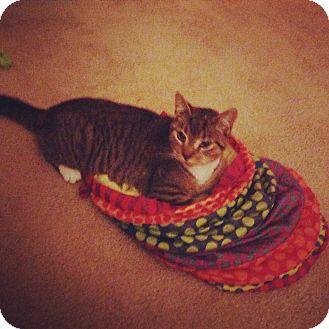 Domestic Shorthair Kitten for adoption in Columbus, Ohio - Bacon