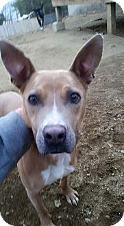 Basenji/Terrier (Unknown Type, Medium) Mix Dog for adoption in Lebanon, Maine - Vivian