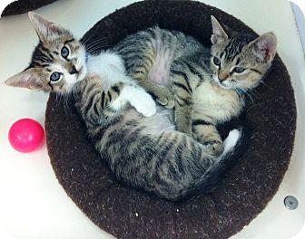 Domestic Shorthair Kitten for adoption in Riverside, California - Esmeralda & Emmit