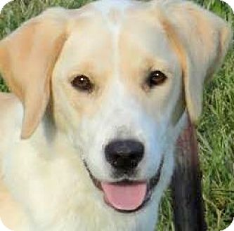 Labrador Retriever Mix Dog for adoption in Wakefield, Rhode Island - MISS SAGE(LOST HER FAMILY!!)