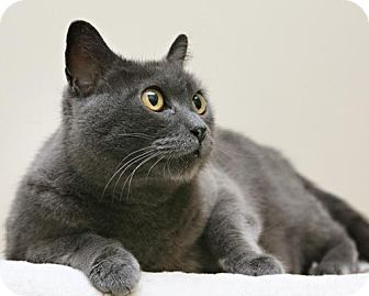 Domestic Shorthair Cat for adoption in Bellingham, Washington - Pineapple