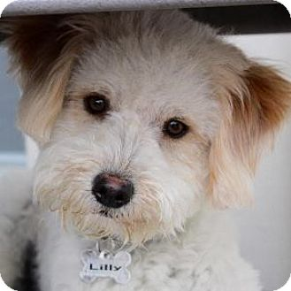 Bichon Frise Mix Dog for adoption in La Costa, California - Lilly