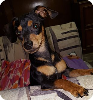 Dachshund/Chihuahua Mix Puppy for adoption in Deer Park, Texas - Scout