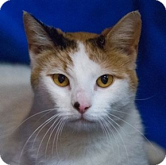 Domestic Shorthair Cat for adoption in Calgary, Alberta - Whitnee