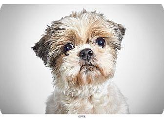Shih Tzu Dog for adoption in New York, New York - Dottie