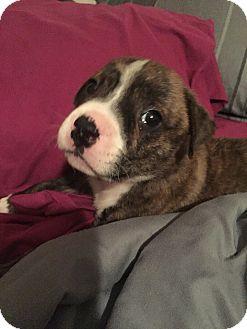 Boxer/Labrador Retriever Mix Puppy for adoption in New Port Richey, Florida - xena