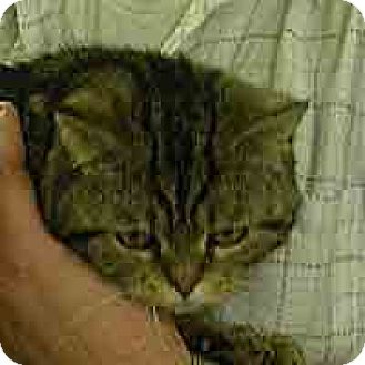 Domestic Mediumhair Cat for adoption in Island Heights, New Jersey - Bently