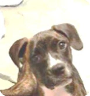 Boxer Puppy for adoption in Turnersville, New Jersey - Apollo-Adopted!