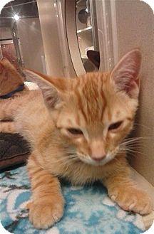 Domestic Shorthair Kitten for adoption in Sedona, Arizona - Danny