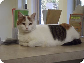 Domestic Shorthair Cat for adoption in Cheboygan, Michigan - Little Miss