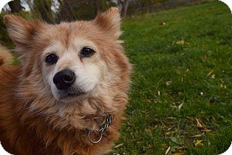 Sheltie, Shetland Sheepdog/Pomeranian Mix Dog for adoption in Flushing, Michigan - Stella Boo