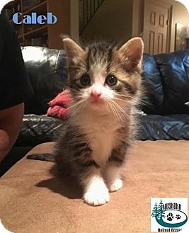 Domestic Mediumhair Kitten for adoption in Huntsville, Ontario - Caleb - Adopted December 2016