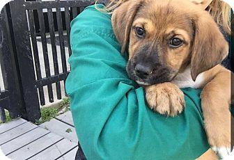 Retriever (Unknown Type) Mix Puppy for adoption in Glendale, Ohio - Chestnut
