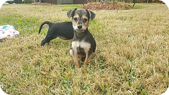 Chihuahua Mix Puppy for adoption in Fort Atkinson, Wisconsin - Agnes