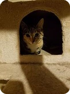 Domestic Shorthair Cat for adoption in Florence, Kentucky - Maggie