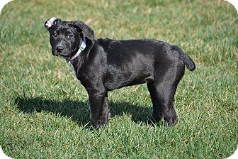 Boxer/Labrador Retriever Mix Puppy for adoption in New Oxford, Pennsylvania - Cindy