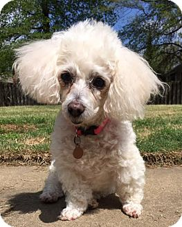 Poodle (Miniature) Mix Dog for adoption in Spring City, Tennessee - Gabby: Affectionate! (AL)