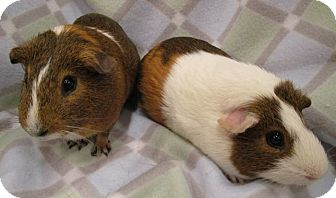 Guinea Pig for adoption in Highland, Indiana - Butterscotch