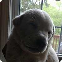 Adopt A Pet :: Ziggy - Palatine/Kildeer/Buffalo Grove, IL