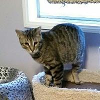 Domestic Shorthair Cat for adoption in Brea, California - MAX