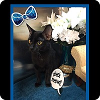 Adopt A Pet :: Brooke - Arlington/Ft Worth, TX