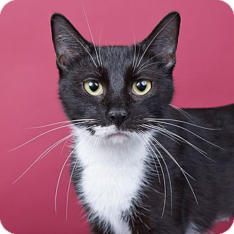 Domestic Shorthair Cat for adoption in Wilmington, Delaware - Oreo