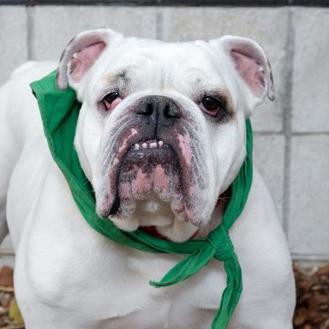 English Bulldog Mix Dog for adoption in Itasca, Illinois - Ryder
