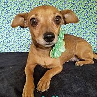 Adopt A Pet :: Sicily - Pluckemin, NJ