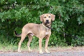 Beagle/Hound (Unknown Type) Mix Dog for adoption in Monroe, Georgia - Beau