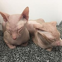 Adopt A Pet :: Mishka - New York, NY
