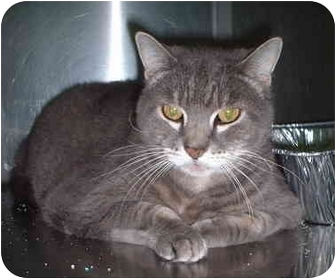 Domestic Shorthair Cat for adoption in Honesdale, Pennsylvania - Tigger