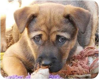 German Shepherd Dog Mix Puppy for adoption in Los Angeles, California - Lucah von Finley
