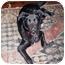 Photo 3 - Labrador Retriever/Border Collie Mix Puppy for adoption in Marietta, Georgia - Mulligan