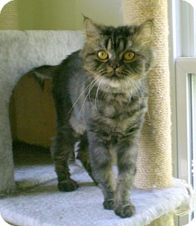 Himalayan Cat for adoption in Troy, Michigan - Nessie