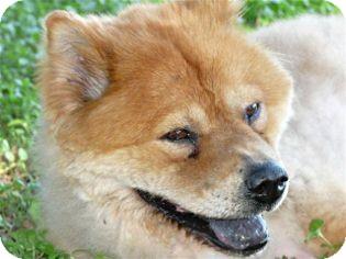 Chow Chow Mix Dog for adoption in Schertz, Texas - Ursula