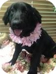Flat-Coated Retriever Mix Puppy for adoption in East Hartford, Connecticut - latoya ADOPTION PENDING