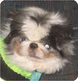 Japanese Chin Dog for adoption in Mays Landing, New Jersey - Panda-NJ