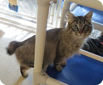 Domestic Longhair Cat for adoption in Geneseo, Illinois - Barmahoot