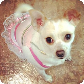 Chihuahua Dog for adoption in South Gate, California - Luna