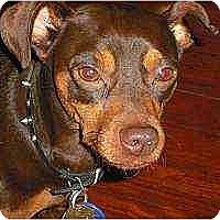 Adopt A Pet :: Reese's Cup - Nashville, TN