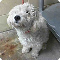 Adopt A Pet :: Sugar - Seattle, WA