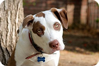 Labrador Retriever/Pit Bull Terrier Mix Puppy for adoption in Los Angeles, California - Dodger