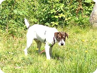 Jack Russell Terrier Mix Puppy for adoption in Gloucester, Massachusetts - Amy