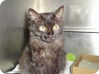 Domestic Mediumhair Cat for adoption in El Cajon, California - Jasmine