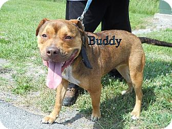 Pit Bull Terrier Dog for adoption in Lewisburg, West Virginia - Buddy