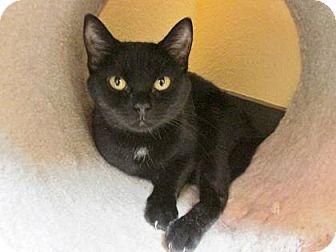 Domestic Shorthair Cat for adoption in Benbrook, Texas - Natalia