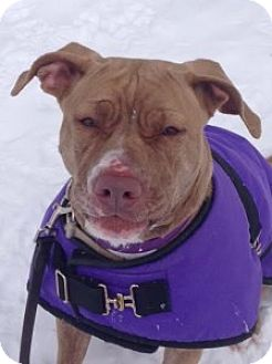 American Staffordshire Terrier Mix Dog for adoption in Medford, Massachusetts - Carly
